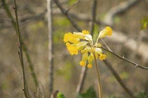 La primevère officinale possède des fleurs en forme d'ombelles.