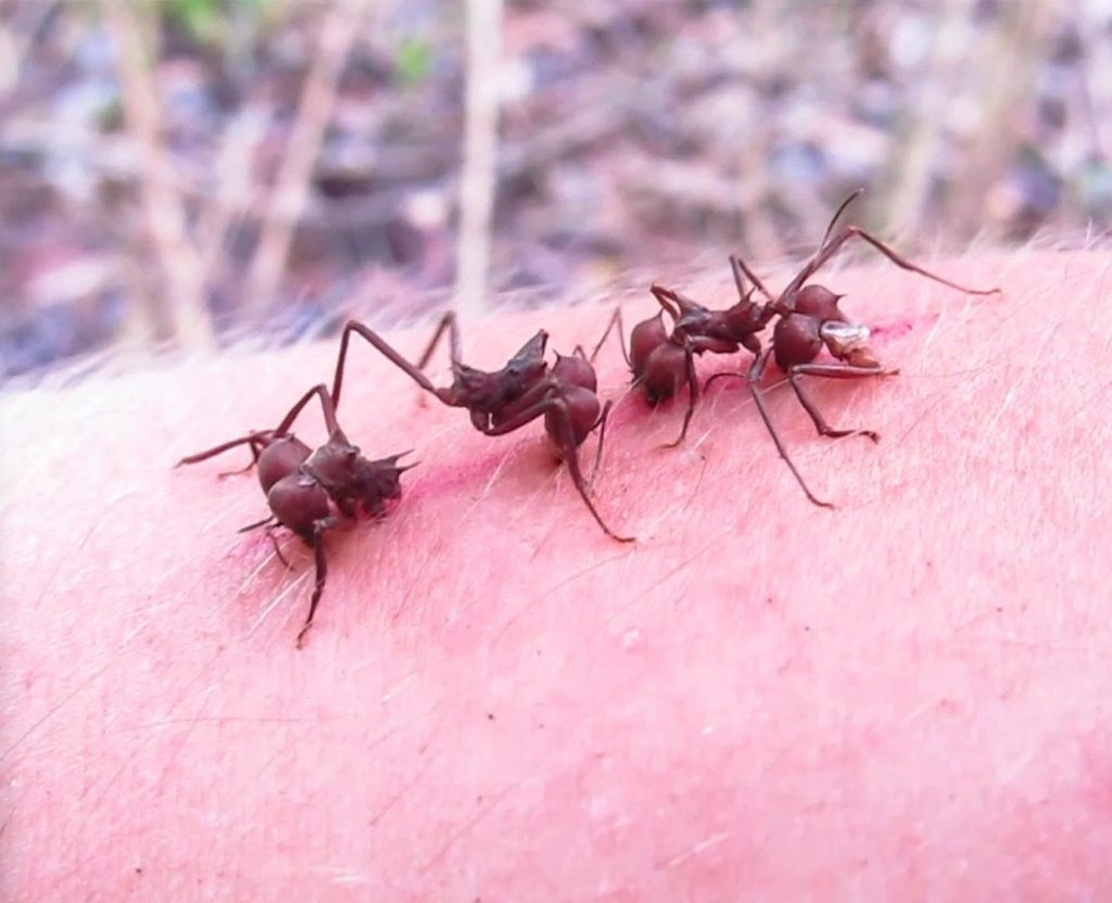 hormigas cerrando una herida como si fuera una sutura con sus mandibulas