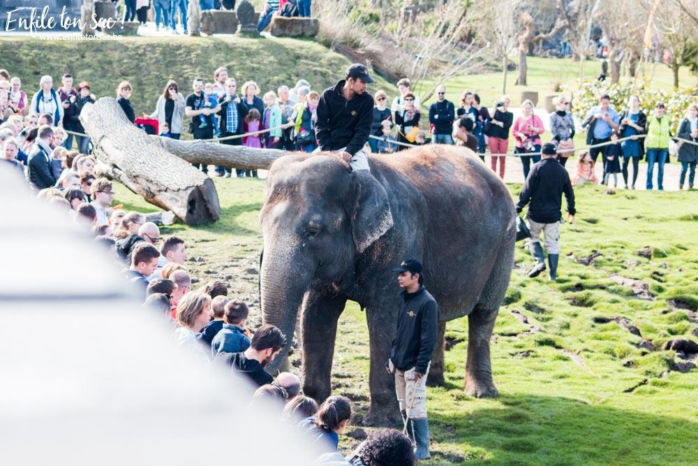 pairi daiza nourrisage elephants Pairi daiza saison 2016   Bilan 1mois après la réouverture.