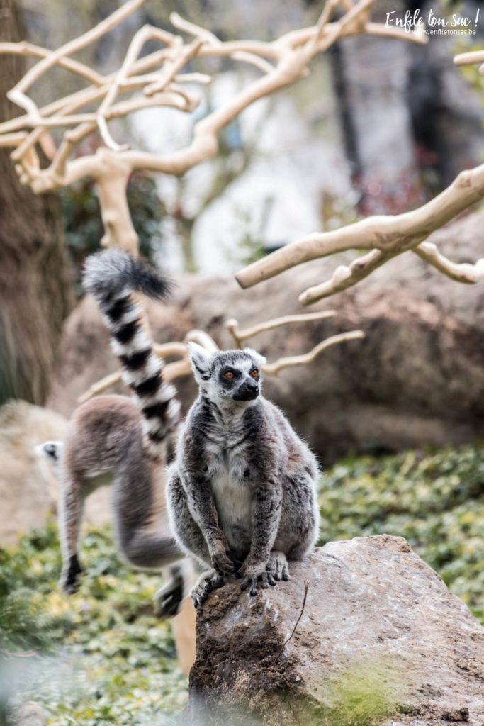 pairidaiza lemurien 683x1024 Pairi daiza saison 2016   Bilan 1mois après la réouverture.