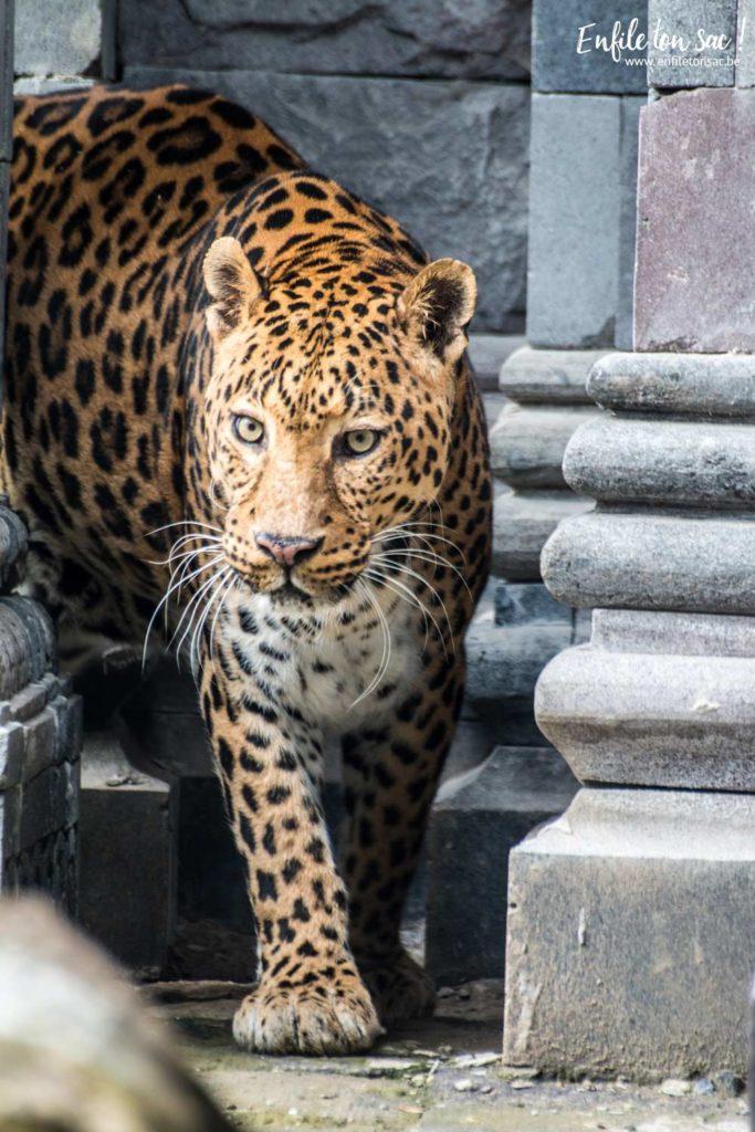pairidaiza leopard 683x1024 Pairi daiza saison 2016   Bilan 1mois après la réouverture.