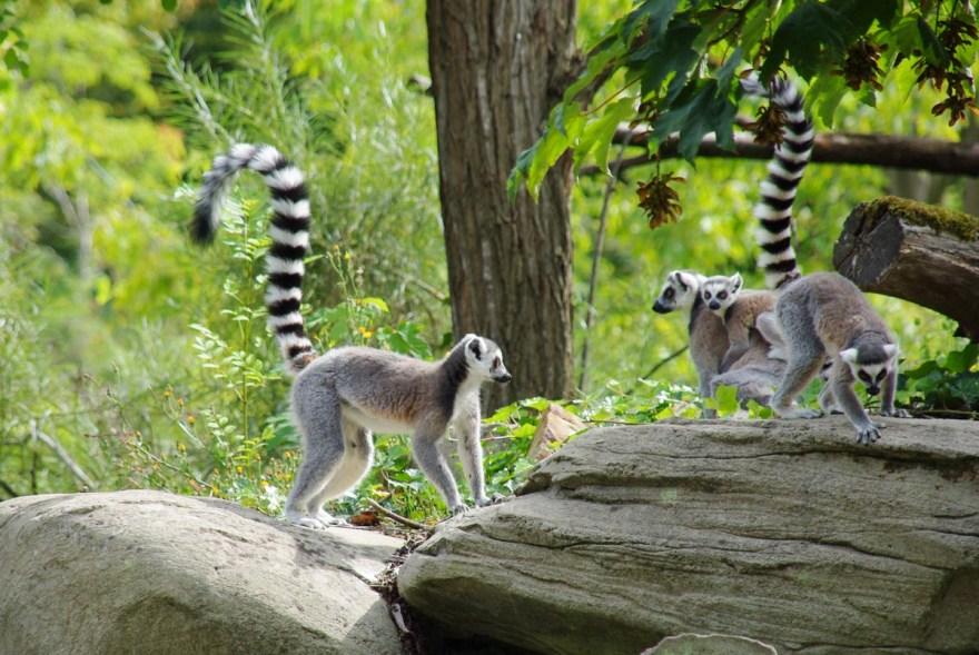 lémuriens au zoo de Vincennes