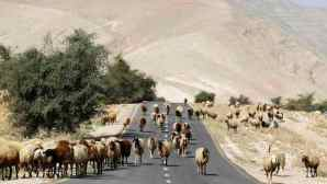 A sheep walk on a road as they graze in Palestinian village of Al-Auja, near the West Bank city of Jericho, on March 7, 2014. (REUTERS/Ammar Awad)