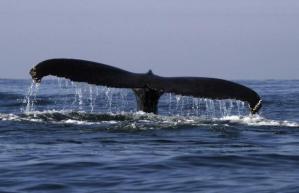 A humpback whale is seen near the coast of Mazatlan