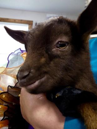 Goat poses for closeup for tea party at Bradley Mountain Farm.