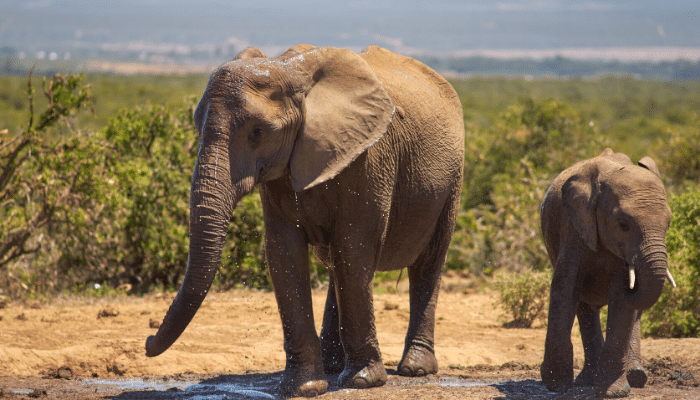 small and large elephant