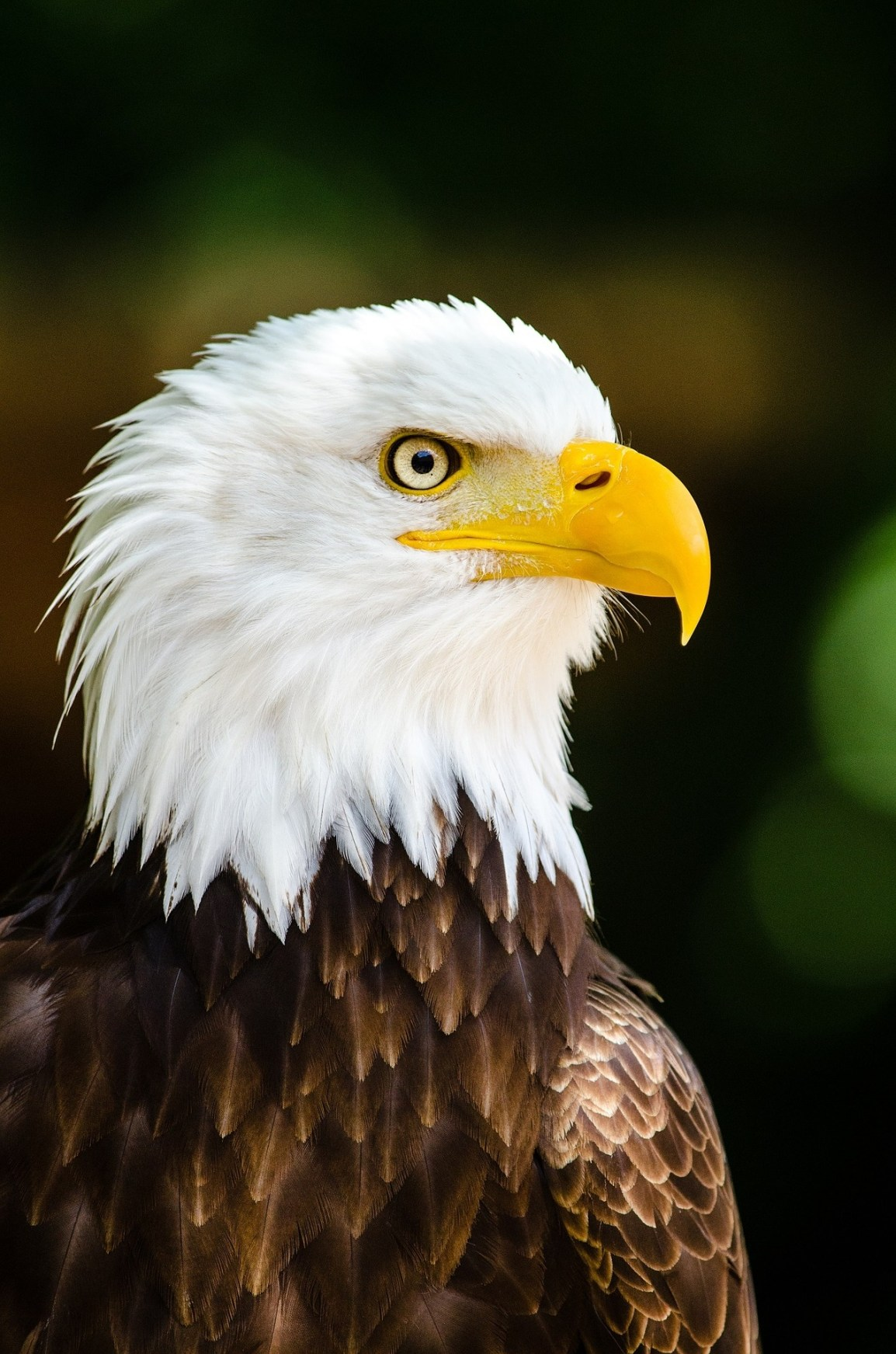 bald-eagle-981622_1920