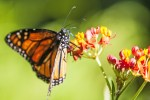 "© Copyright 2013 David Levinson ""Monarch Butterfly on Milkweed"" https://www.flickr.com/photos/davidspix/9253950982"