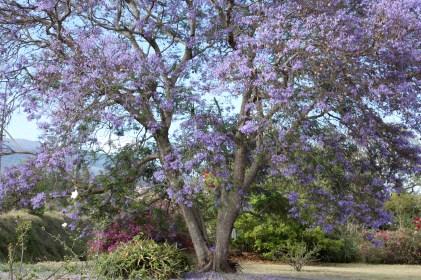 Jacaranda Tree Beauty