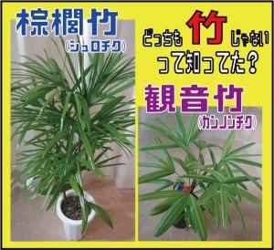棕櫚竹観音竹表紙