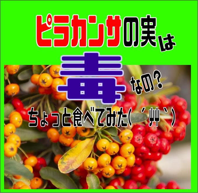 ピラカンサの実は毒なの?ちょっと食べてみた( ´艸`) | 園楽project ...