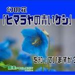 青いケシ表紙