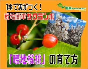暖地桜桃-表紙