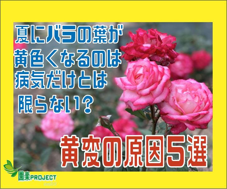 バラ葉の黄変表紙