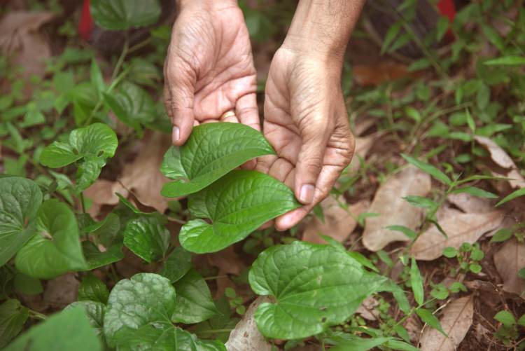 collecting herbs and ingredients for HANAH ONE