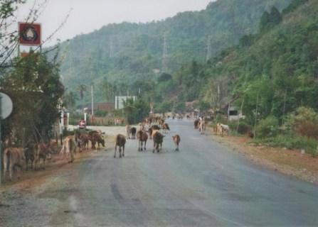 Route 13 von Vientiane nach Vang Vieng: Kühe oder Büffel stören sich selten am Verkehr