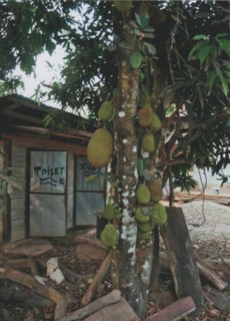 Jackfruit Baum
