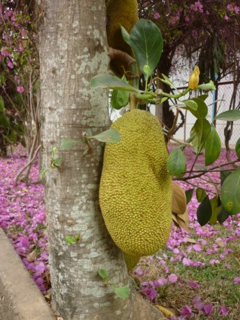 Jackfruit neben der Kantine von Trio in Ban Sikeud