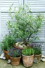 Mediterranean style pots planted with lavandula and olea europaea against white shuttered doors