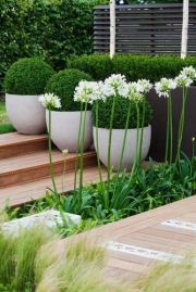 Structured box balls and fresh greens with wafting grasses and white Agapanthus to lift it. Clean and attractive. _gardendesignbackyard