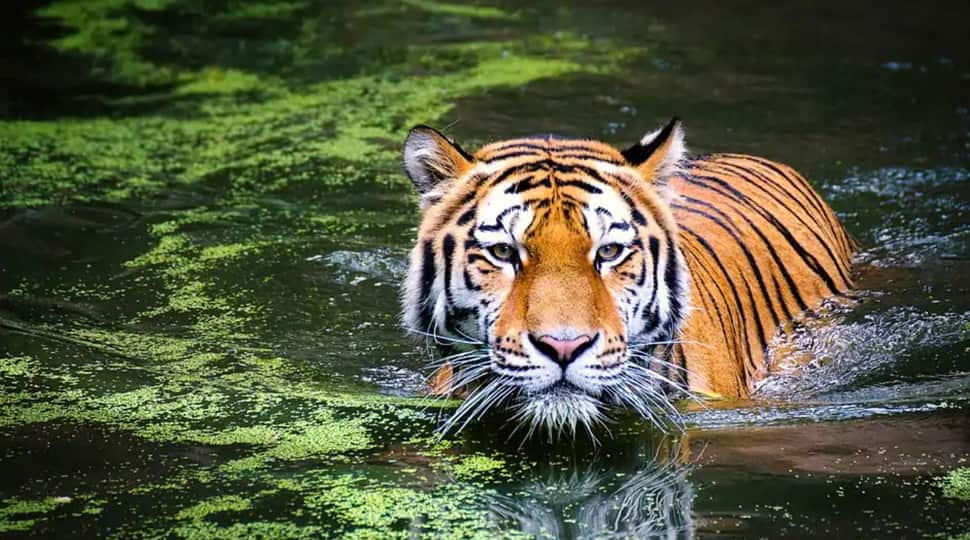 Global Tiger Day History Importance And The Number Of Tigers In India India News Zee News