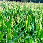 Record maize production likely in Rangpur region