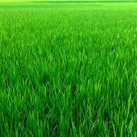 Farmers exceed Boro rice farming target in Rangpur region