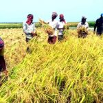 Rajshahi farmers start Irri-boro harvesting with joyous
