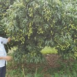 Tender litchi fruits show bumper yield possibility in Rajshahi