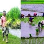 Target set to produce 18.08-lakh tonnes Aman in Rangpur
