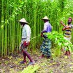 Jute harvesting goes on in Rajshahi division