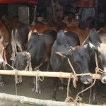 Cattle market starts gaining momentum in capital