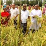 Bumper Aush rice output likely despite floods in Rangpur