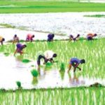 Khulna farmers busy with Aman paddy farming