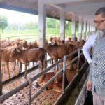 Artificial insemination improves cattle breed in Rajshahi
