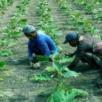 Phulbari farmers hoping better profits from early brinjal