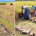 Short duration Aman rice harvest continues in Rangpur region