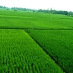 Aman rice plants growing excellent in Rangpur region