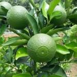 BARI Multa farming gaining popularity in Narsingdi