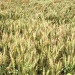 3,000 farmers get incentive in Jamalpur