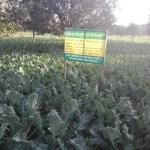 Broccoli farming gains ground in Rajshahi region