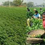 Target exceeds predicting bumper potato output in Rangpur region