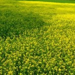 Bumper mustard output likely in Rangpur region