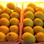 Mango harvesting begins in Rajshahi