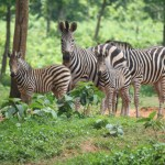 Zebra gives birth to baby at Bangabandhu Safari Park in Gazipur