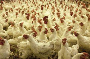 עוף - הפורום הישראלי לתזונה בת קיימא