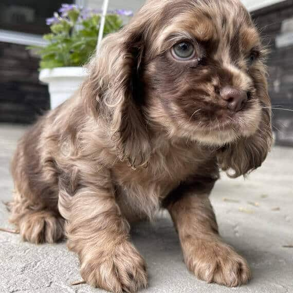 cocker spaniel puppies for sale in wisconsin
