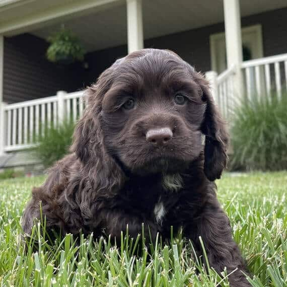 cocker spaniel puppies for sale in ct