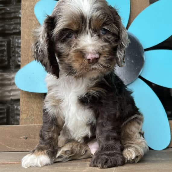 cocker spaniel puppies for sale in ny