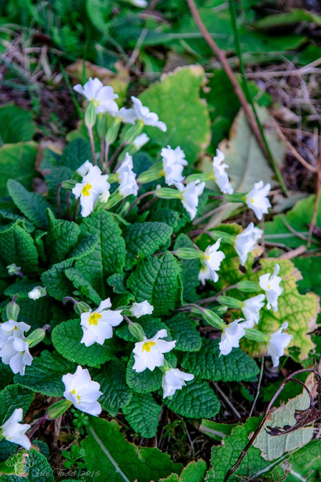 A clump of primroses hiding at the edge of the wood. © Sue Todd 2015